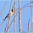 今日の野鳥  ノスリ ・ オオジュリン ・ トビ ・ カワラヒワ ・ ウミアイサ