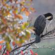 カワウの紅葉見物と水面すれすれを飛び回る姿