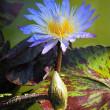 お盆~睡蓮の花