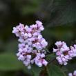 ツルソバの花