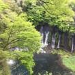 富士宮から東京出張  ニリンソウと白糸の滝      2018.04.18-19.