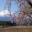 名残の桜と富士山