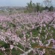 桃の花が満開
