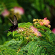 ネムノキと蝶のコラボ