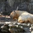 多摩動物公園のゴールデンターキン テン。冬の多摩で悠然と。