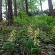 エビネの咲く雑木林の公園