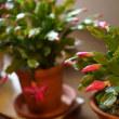 ●我が家の11月の花 シャコバサボテン