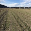 デュラム小麦生育状況