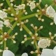 [#3788] カンボク(5)飾り花内部(小花)