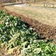 カキ菜の収穫