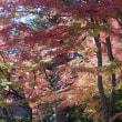 メタセコイア・イチョウ・モミジの紅葉(黄葉)