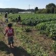 今年も、枝豆狩り糸井原種。