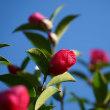 ●公園を散歩 あられ(霰)がキラキラ☆彡 山茶花  ユリノキ