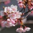 鮫洲入江浜公園の河津桜
