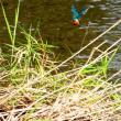 『花水川の野鳥』 カワセミ(2)