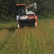 そばの収穫