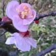 フキノトウとアンズの花