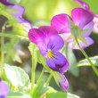 五月の庭・・・ビオラが咲いてます