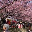 三浦の 河津桜 3回目です