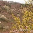 ロウバイを見に花見山へ