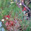 大寒 梅の開花状況