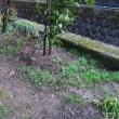 裏庭のカタクリにつぼみが出来ました!
