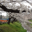根川緑道の桜