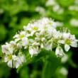 蕎麦(ソバ)の花