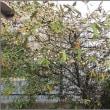 鈴生りのグイビの花