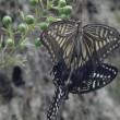 アゲハチョウの交尾