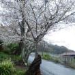 お花見、雨模様の衣笠山公園での出会い「切り株桜と力の継承」。