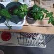 挿し木苗の鉢増し