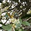 四季咲きギンモクセイ開花