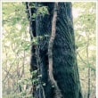 木の幹を這う蔦 ~九千部山にて~