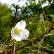 桜 アーコレード、十月桜、四季桜、子福桜、冬桜