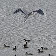 今日の鳥見:カワウの追い込み漁等