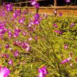 花の国のポピーが満開です(H30.5.12)