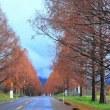 メタセコイヤ並木の初冬