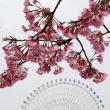 大寒桜 (オオカンザクラ)