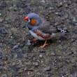 金華鳥(2)