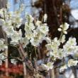 鉢植えの花梅 2018(1)~冬至梅