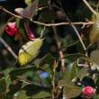 椿の花の蜜を吸うメジロの動き