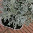 New アップルミントの香りがする白銀の細かい葉