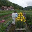 三次菊組合員の菊生育状況を見る為の視察巡回