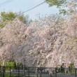 しだれ桜まつり