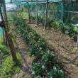 茎ブロッコリーに肥料