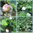 舞鶴公園「蓮の花」…