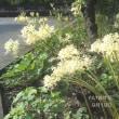白い彼岸花が咲いていた!