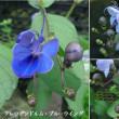 クレロデンドルム・ブルーウイングの花は