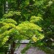 薫風の候【東慶寺】イワガラミとアジサイと